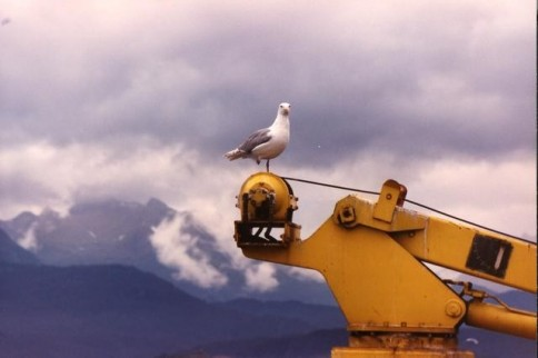 Alaska sea gull on heavy equipment_tif322