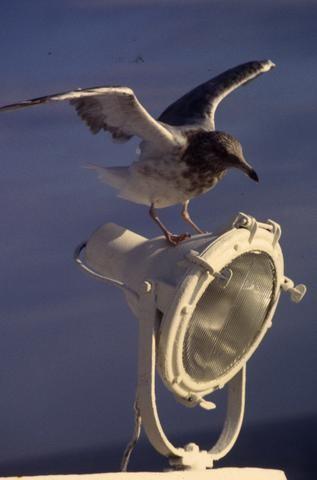 Cape Cod seagull_tif480