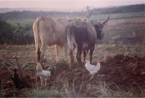 Cuban Cows328