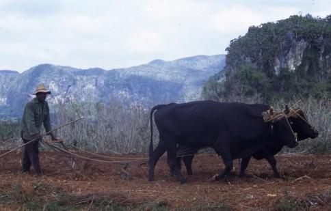 Cuban Plowing309