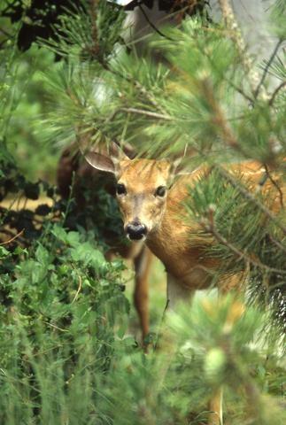 Deer_tif480